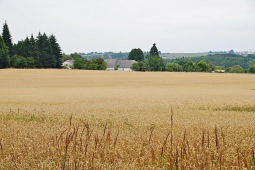 Grain, Field, Wheat, Agriculture, Summer