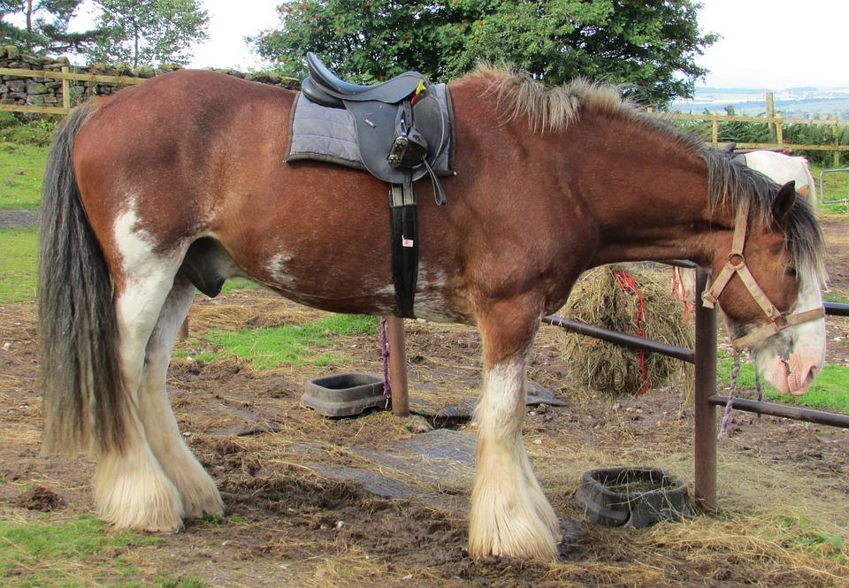 häst med sadel