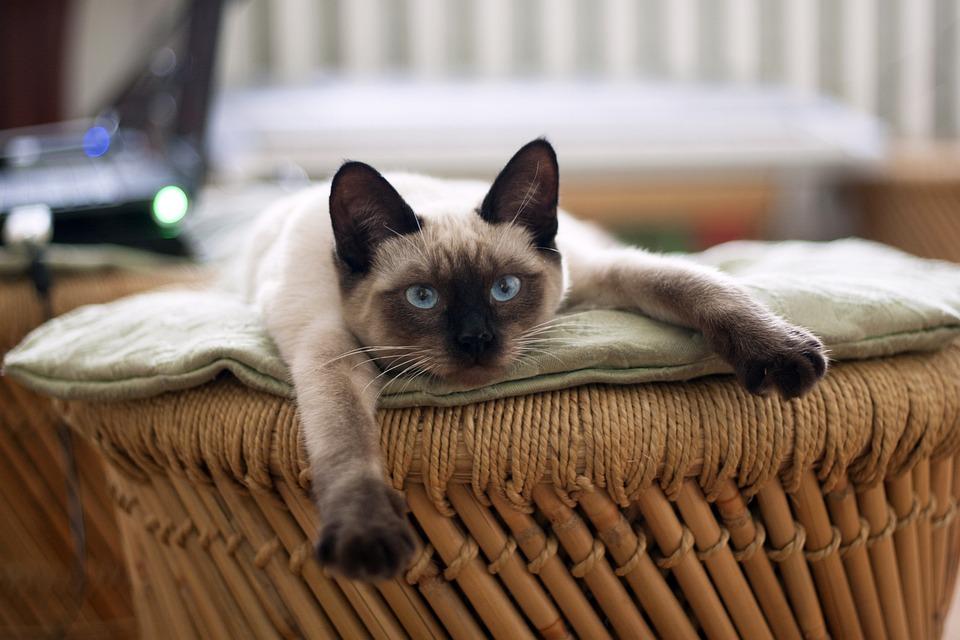 Топ кошек - Сиамская кошка