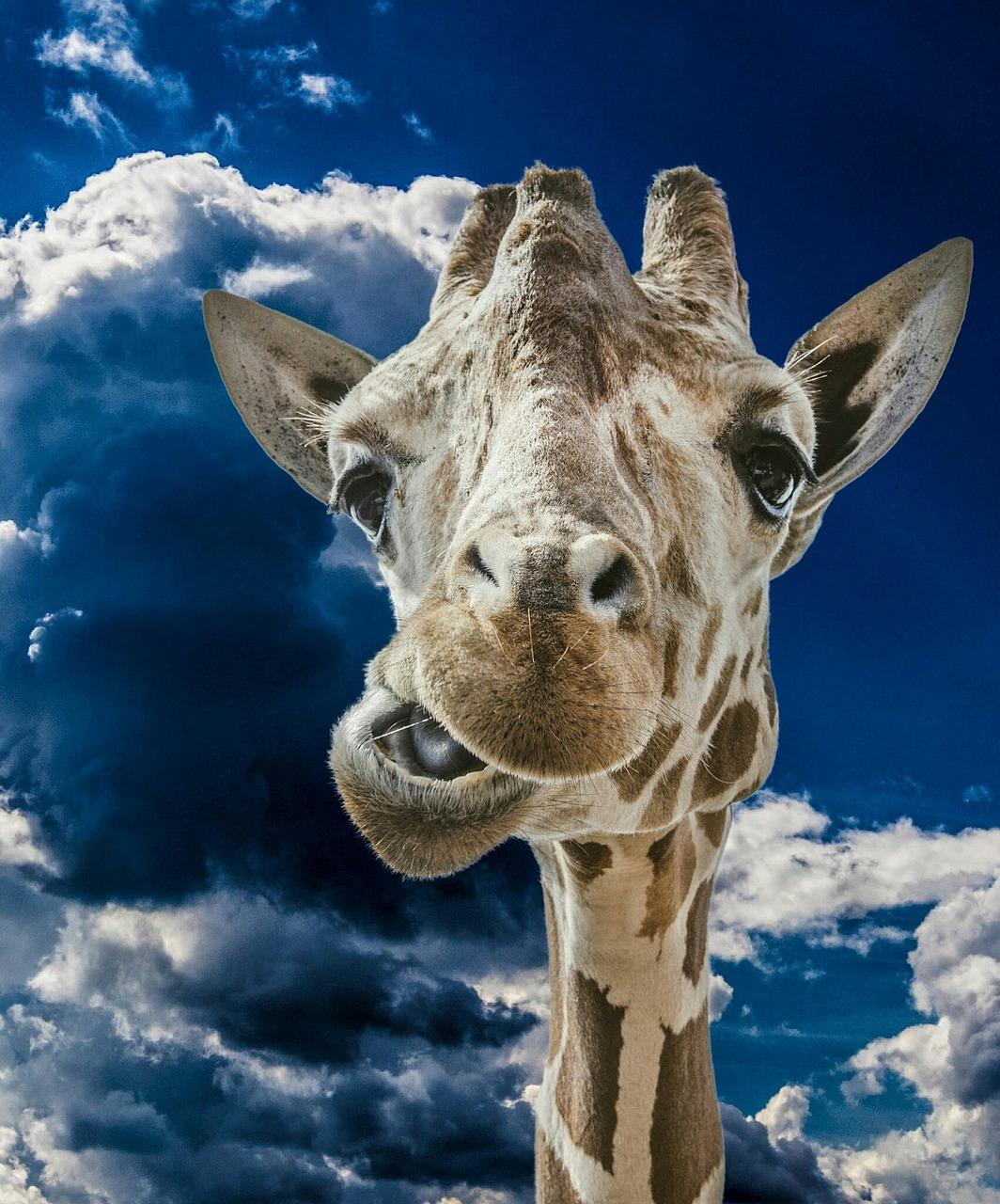Картинки прикольный жираф, поздравление