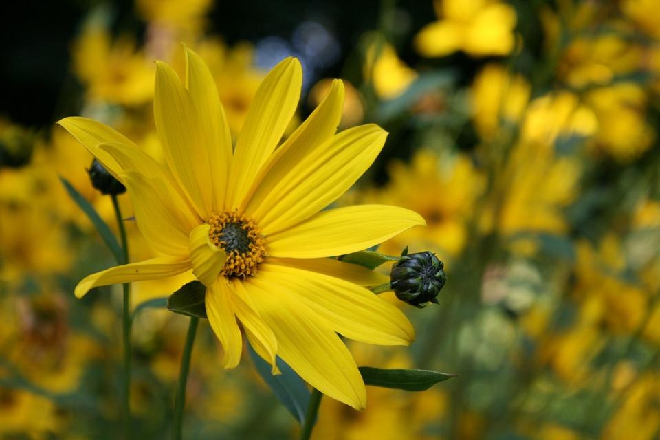 Photo gratuite fleurs jaune jardin plantes image for Fleurs thes au jardin