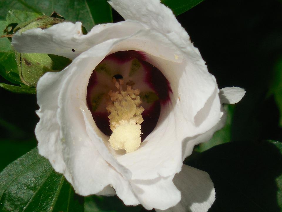 Mawar Saron Kembang Sepatu Bunga Foto Gratis Di Pixabay