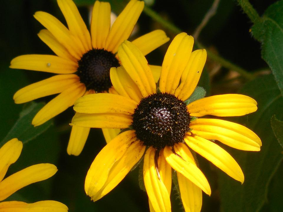 Free Photo Rudbeckia Black Eyed Susan Yellow Free
