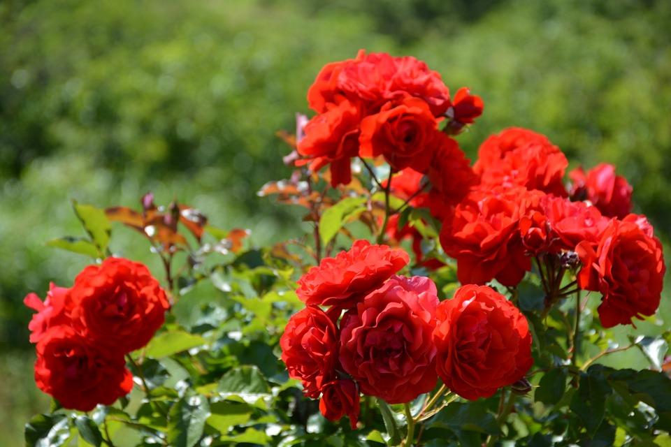 Rose rosse giardino di foto gratis su pixabay