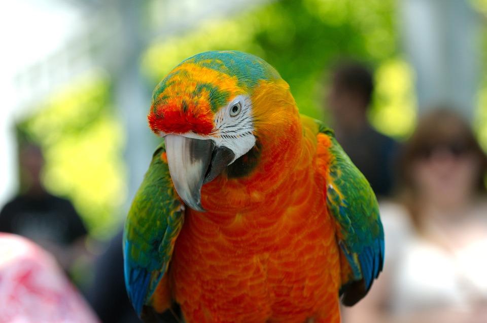 Free photo: Ara, Hybrid, Parrot, Bird, Animal - Free Image on Pixabay ... Tiger Eyes Black And White