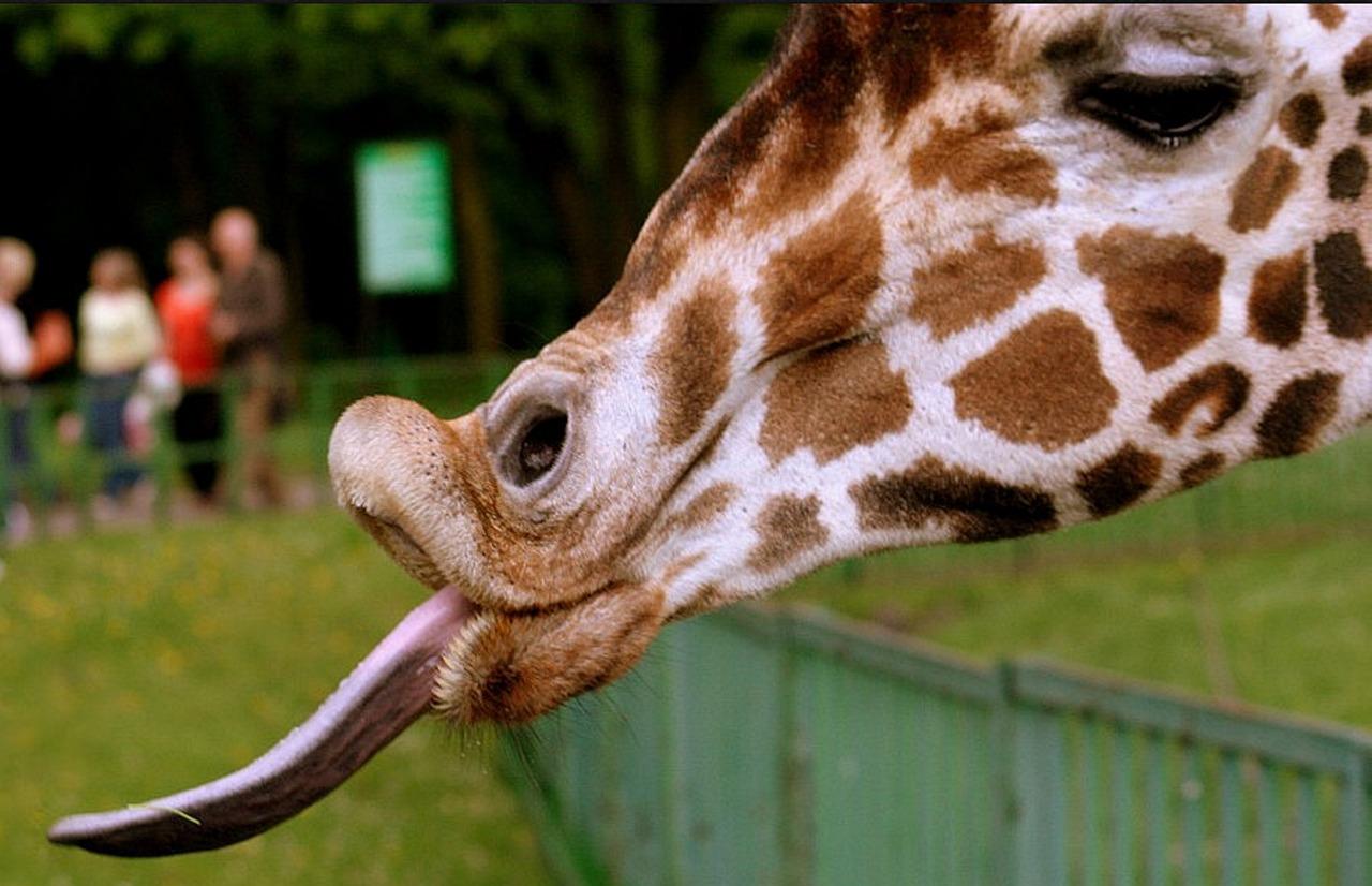 Жираф картинки прикольная