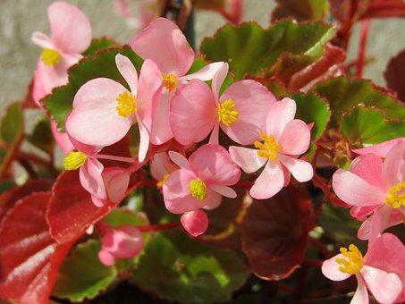 【色別】ベゴニアの花言葉|ピンク/オレンジ/赤