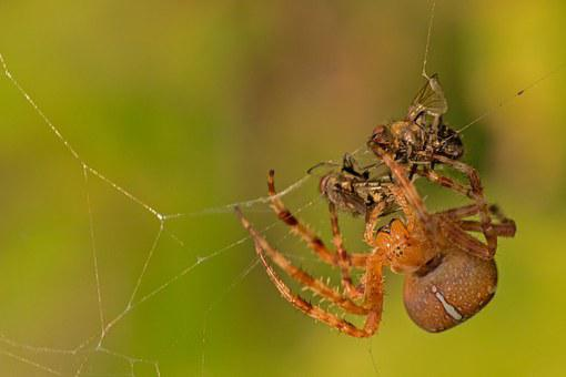 Spider, Spider With Prey, Fly, Close