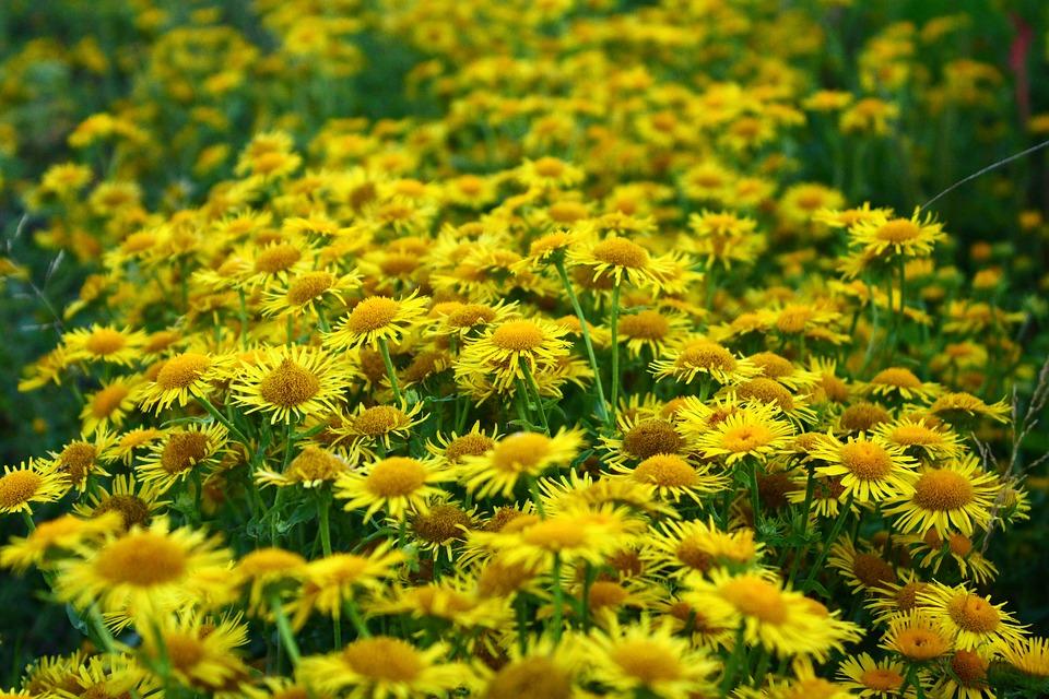 Daisy meadow yellow free photo on pixabay daisy meadow yellow closeup wild flowers nature mightylinksfo