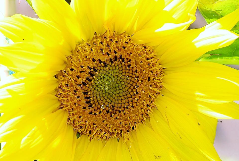太阳花, 开花, 厂, 光, 花, 黄色, 夏季, 植物群, 结构, 花瓣, 一节