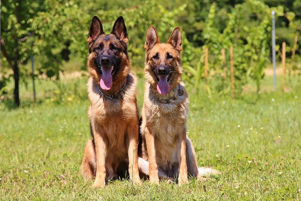 Dogs, House, Animals, German Shepherd, Hobby