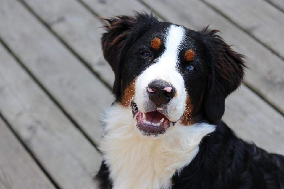 Dogs Bernese Puppies Free Photo On Pixabay
