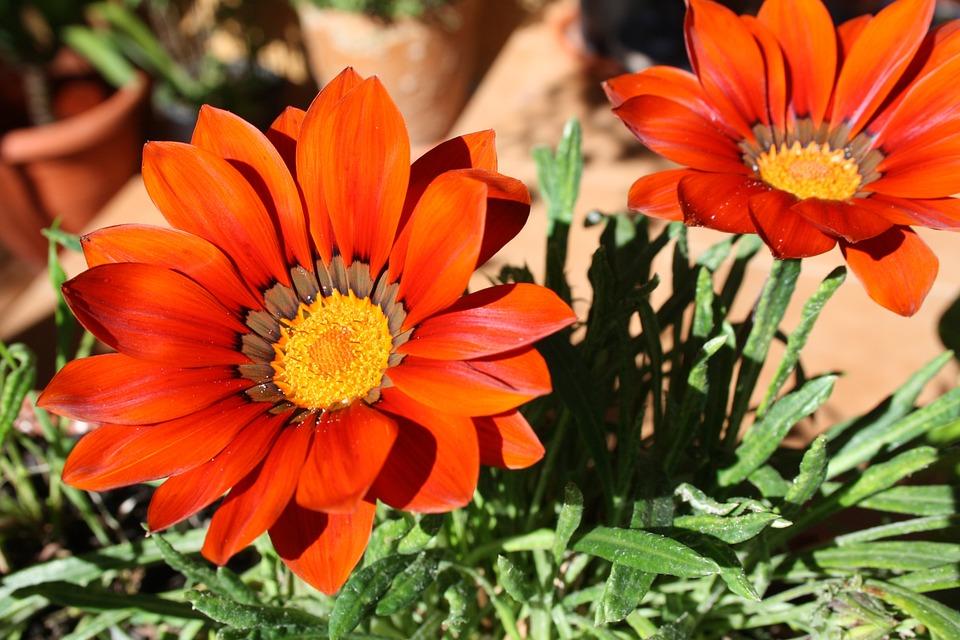 Gazania Flores Plantas Foto Gratis En Pixabay - Plantas-de-jardin-con-flores