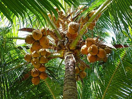 Coconuts, Palm Tree, Green, Leaves, Tree