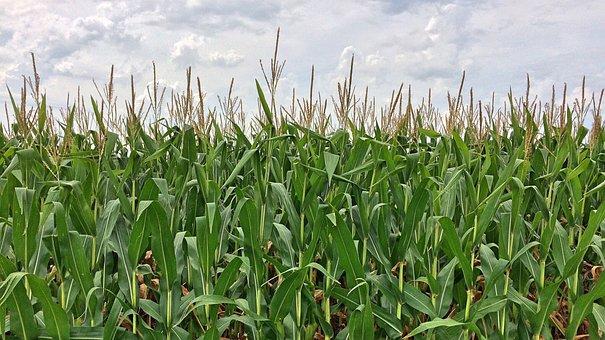 Россия может экспортировать 6 млн тонн кукурузы