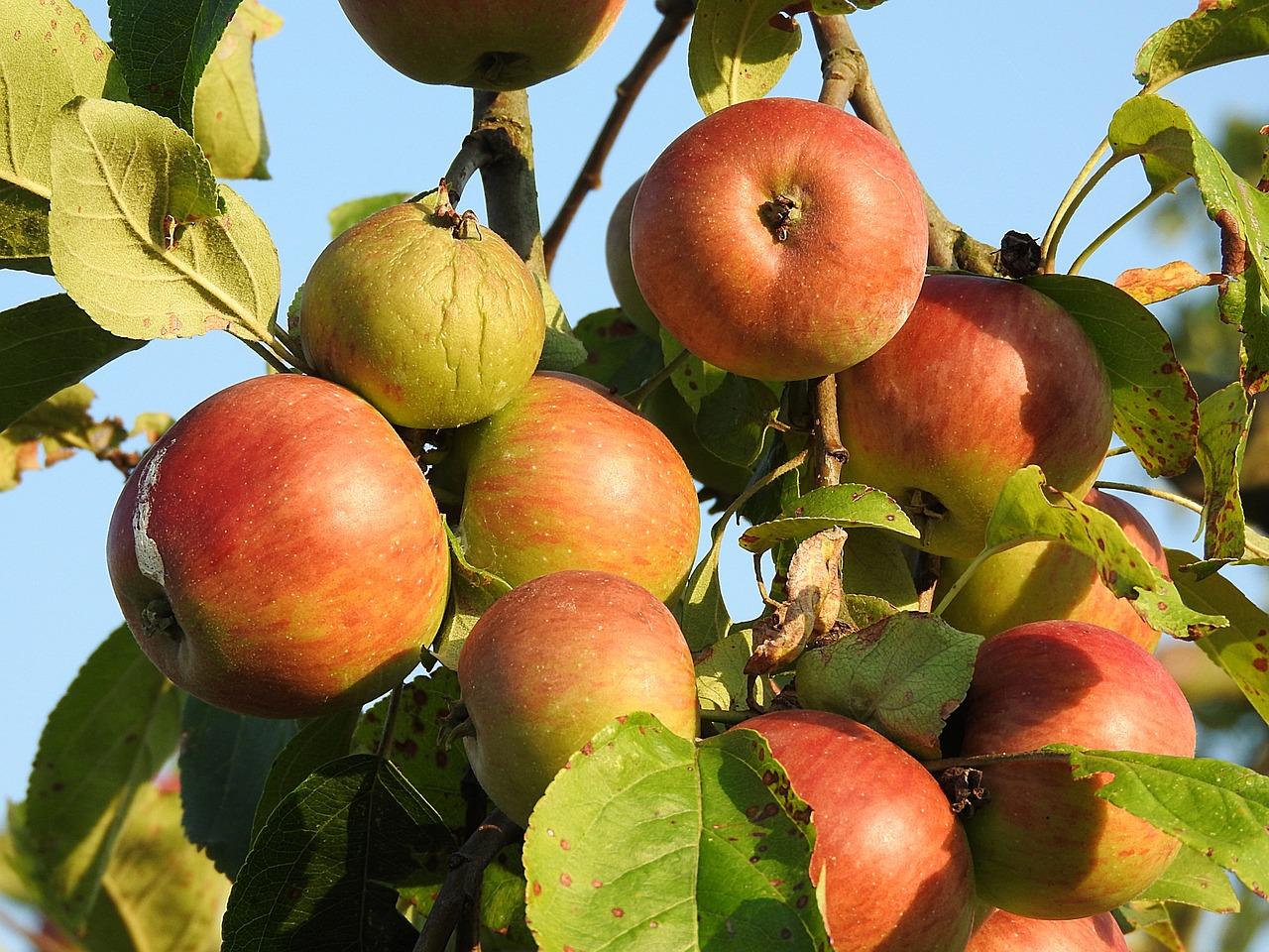 пары двое описание с фото яблони заря алатау заниматься таким творчеством