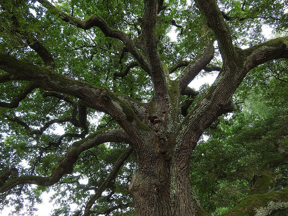 hespérophane-chêne-vieux-arbre