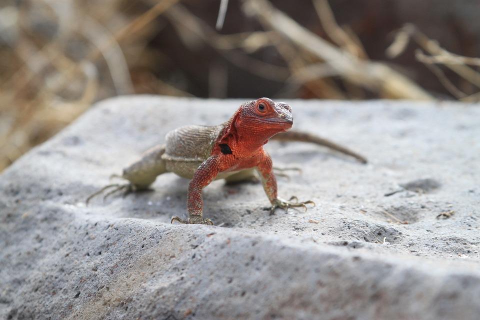 Christmas Tree Lizard Galapagos Kostenloses Foto Auf Pixabay