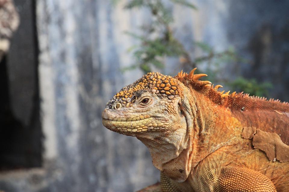 Iguana Darat Galapagos, Salah Satu Hewan yang Terancam Punah karena Hewan Predator yang Dibawa Manusia