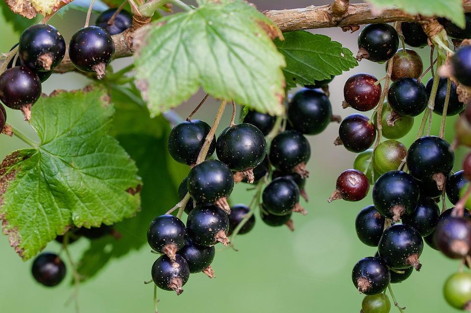 Currant, Black, Black Currants, Fresh, Garden, Nature