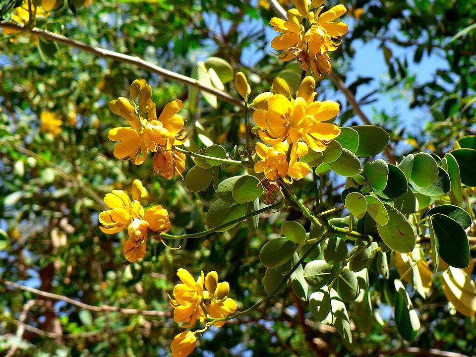 Gwatemala, Egzotyczne, Kwiat, Żółty, Botanika