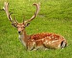 antler, fallow deer