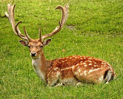 Antler Antler Carrier Fallow Deer Hirsch D