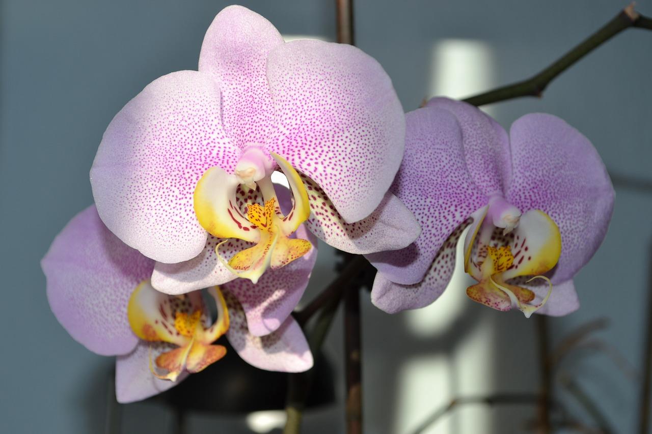 знал орхидеи фото расцветки плодовые характеристики