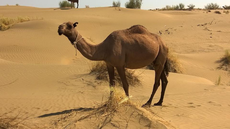 free photo camel turkmenistan desert animals   free