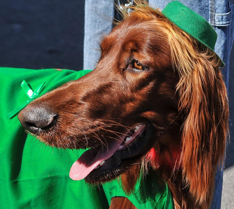 Irish Setter, Dogs, Dog Breeds, Animals, Pets