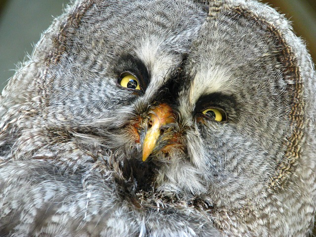 Free Photo Bart Owl Bird Portrait Free Image On