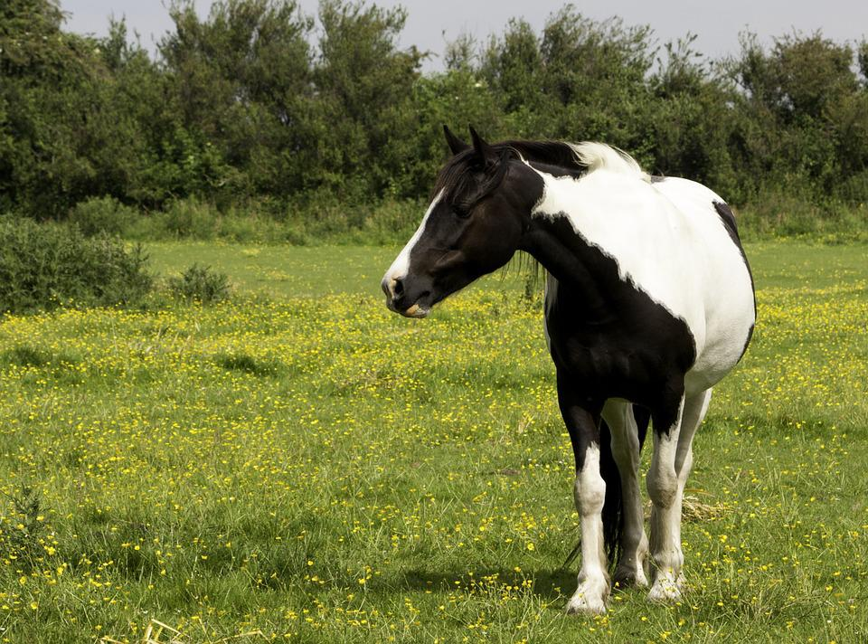 Black and white pinto horse