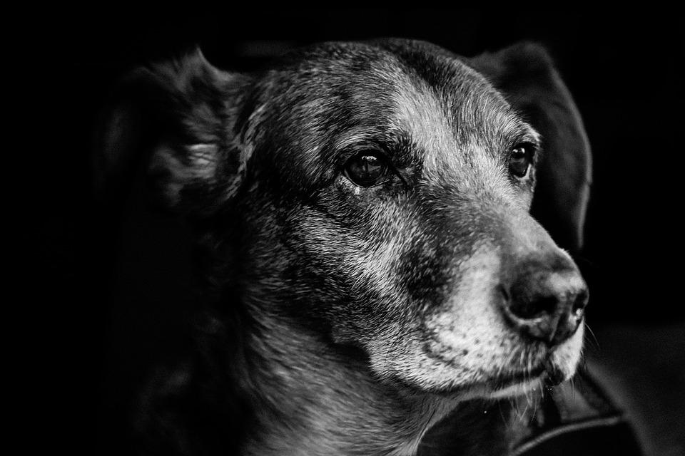 Dog portrait snout fur nose bart s w hybrid