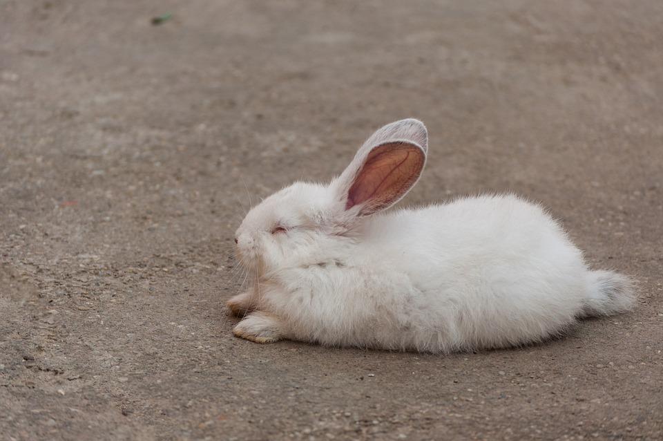 Free Photo Rabbit White Sleep Free Image On Pixabay