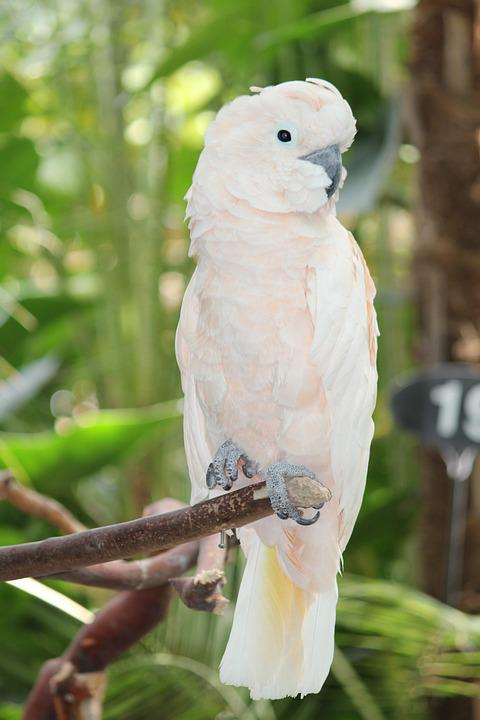 Free Photo White Cockatoo Parrot Bird Free Image On Pixabay 906327