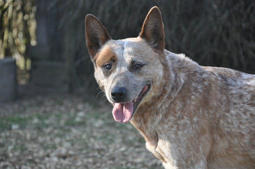 Dog, Australian Cattle Dogs, Animal