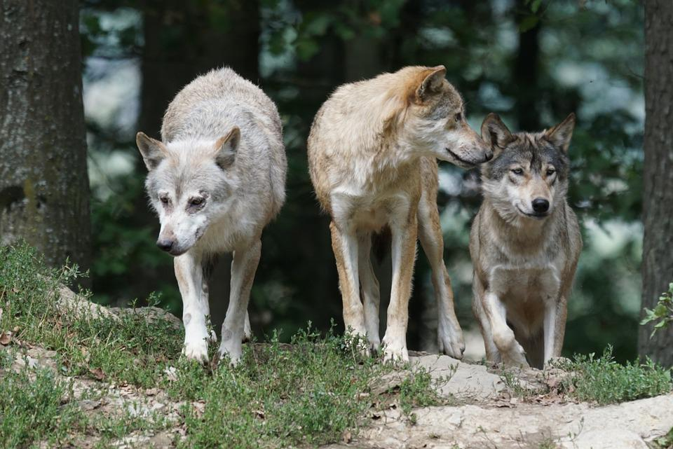 Loups, Famille, Pack
