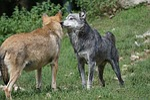 wolf, tense