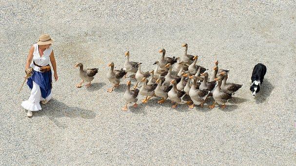 Geese, Girl, Dog, Shepherd, Herding