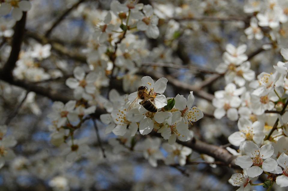 Fiori Bianchi Albero.Alberi Da Frutto Primavera Fiori Foto Gratis Su Pixabay