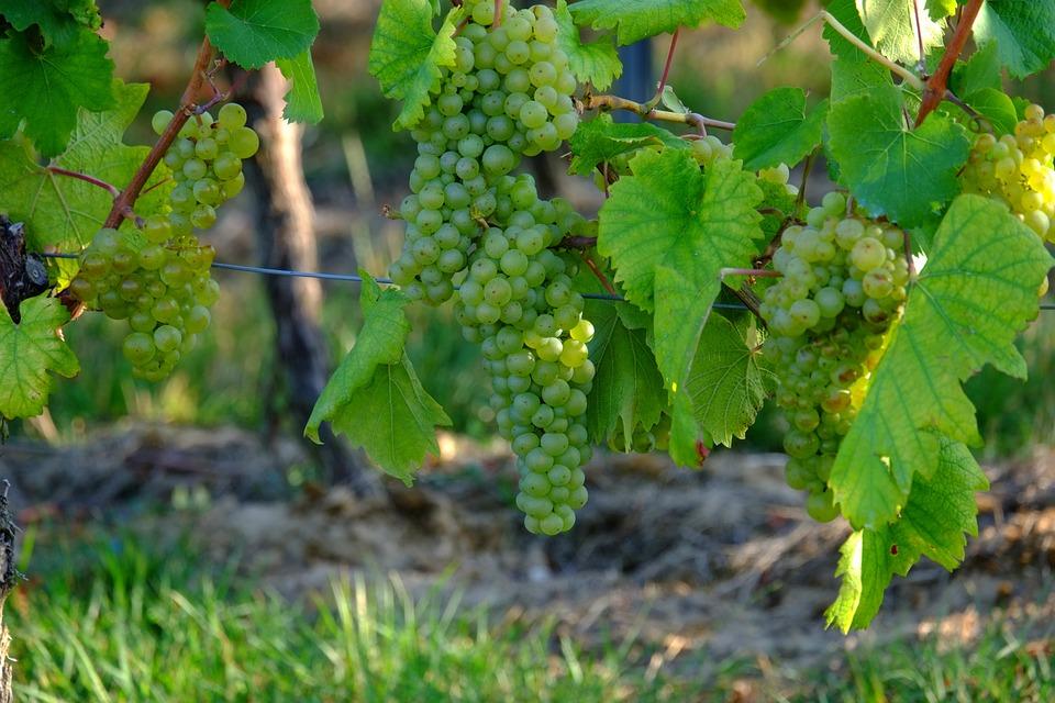 Trauben Weisse Wein · Kostenloses Foto auf Pixabay