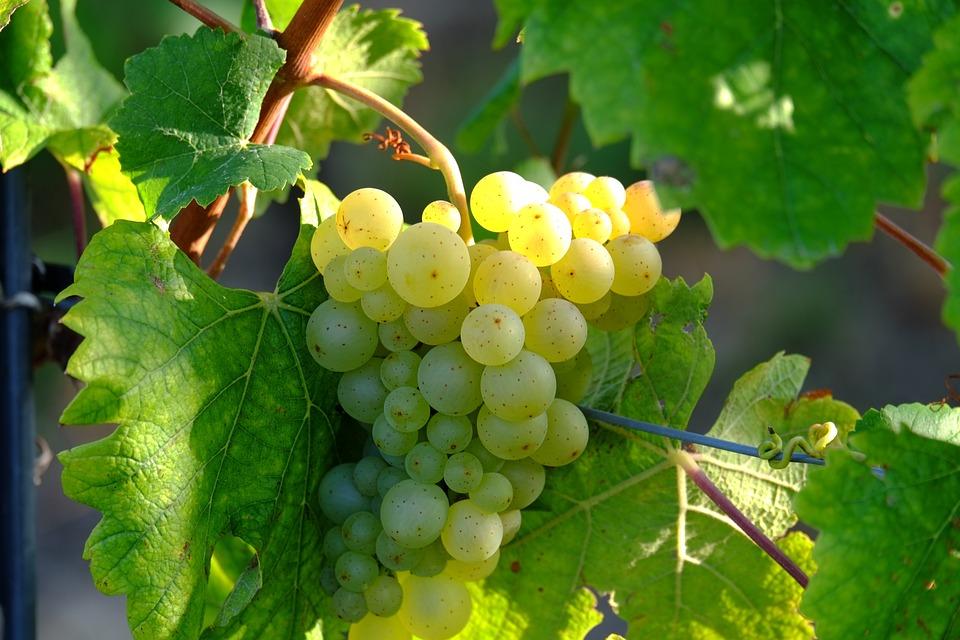 Grapes, White Grapes, Grape Pergel, Wine, Fruit, Vine
