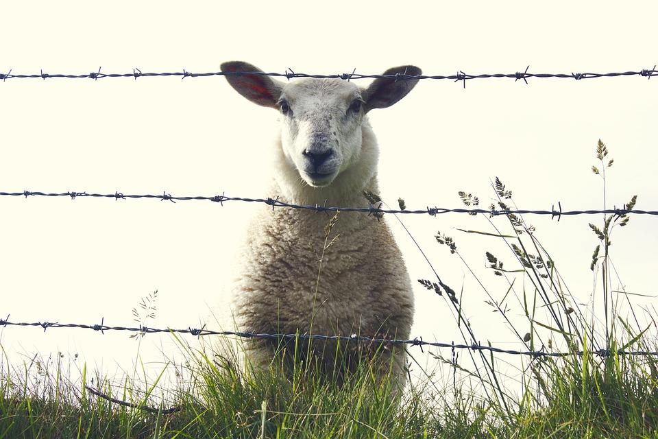 Owiec, Irlandia, Zwierząt