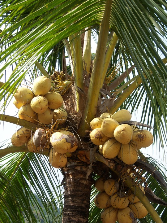 Noci Di Cocco, Palma, Fronda, Caraibi, Giamaica