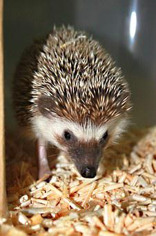 Hedgehog, Animal, Cute, Standard, Lovely