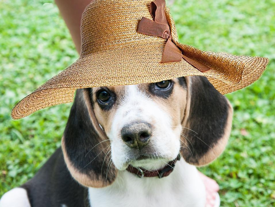 Free Photo Beagle Dog Bitch Hat Funny Free Image On