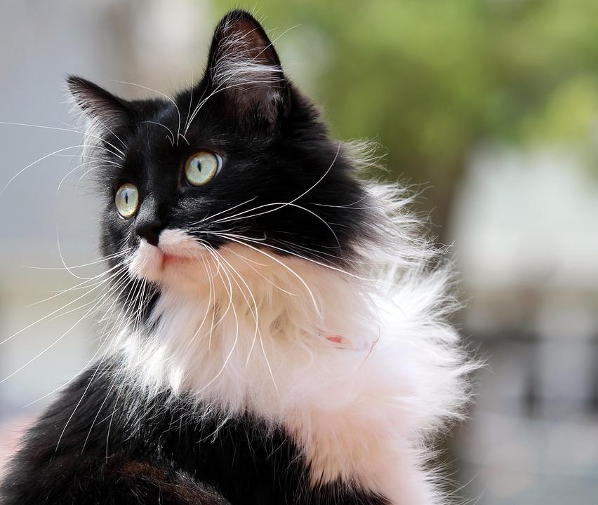 [Image: tuxedo-cat-916335_960_720.jpg]