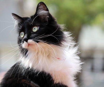 Tuxedo Cat, Kitten, Feline, Zorro
