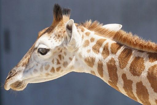 Giraffe Young Animal Ruminant Paarhufer Gi