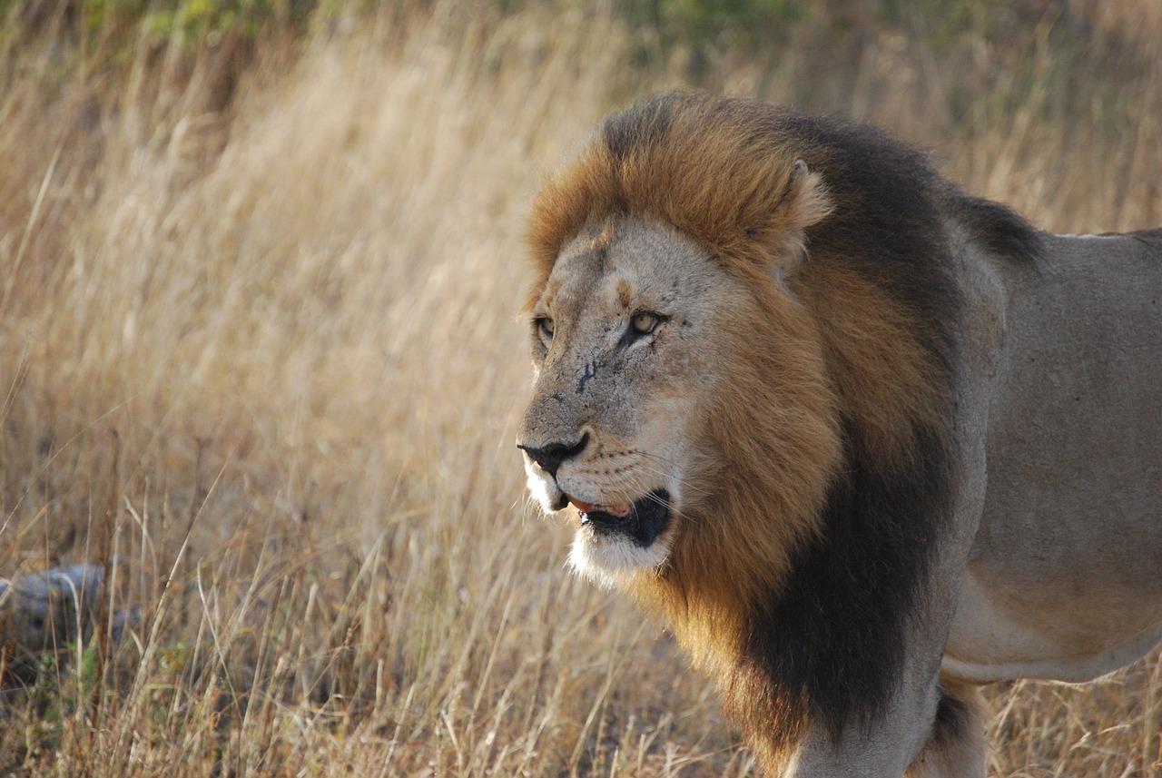 african lion essay